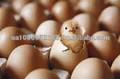 بيض التفقيس الفراريج( cobb500، روس 308)