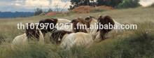 Boar Goats,LIVE ANIMALS