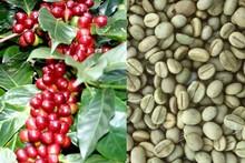 Vietnam 100% esportazione naturale verde chicchi di caffè robusta