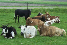 Cattles Available
