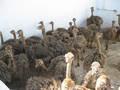 Ovos de avestruz, penas e filhotes para venda