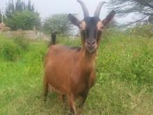Alive Saanen Goats
