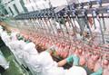 الدجاج المجمد كله حلالا البرازيل المنشأ أفضل عرض السعر للبيع