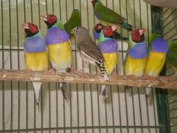 Finch Live Birds,gouldian finches export