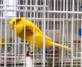 Yorkshire, lancashire, viven aves de canarias
