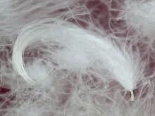 Goose feathers, white. Wholesale