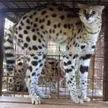 home raised Bengal kittens