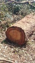 Turpentine Timber (Syncarpia Glomulifera)