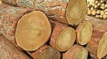 Mahogany Logs and Ekop Beli sawn timber