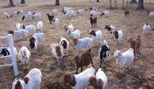 Dairy Cattle, Boer Goats, Holstein Heifers, Cows, Camels, Sheeps, Horse