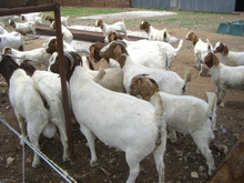 Boer dairy goats for sale (high quality milk production)