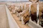 Cattle Feed - Dairy farm ( Enhances Milk production )