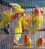 Finch Birds,Yorkshire Canary Birds,Lancashire Canary Birds