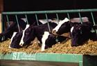 Cow feed in Dairy farming - Enhances Milk Production