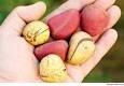 Kola Nut (Garcinia)