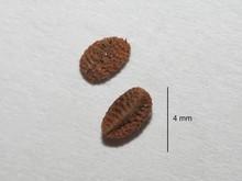 Phacelia seeds