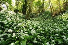 DRIED RAMSONS - WILD GARLIC - Allium ursinum