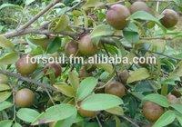 Natural Camellia / Tea oil seed