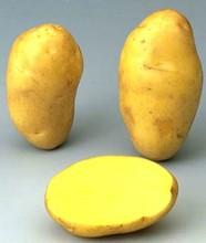 Tunisian Potato (Nicola)