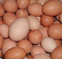 Quality Organic Fresh Chicken Table Eggs & Fertilized Hatching Eggs at Company prices
