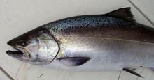 Frozen Atlantic Salmon | Norwegian Salmon | Fresh Whole Salmon
