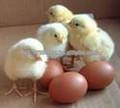 ovos para incubação cobb500 raça para frango