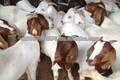 Halal Fresh and Frozen Goat , Lamb , Sheep ,Meat Carcass