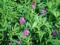 # 1 híbrido ee.uu. Alfalfa semilla