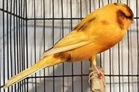 Yorkshire Canary Birds, Lancashire Canary Birds, live canary birds