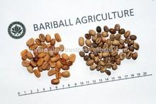 Java Coffee Bean