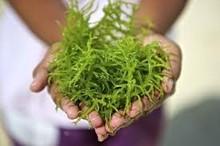 Seaweed Carrageenan Products