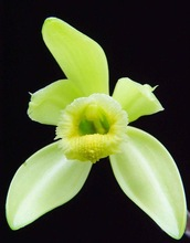 Natural Vanilla Beans Extract