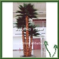 Washingtonia palm,indoor palm, decorative palm