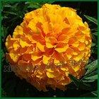 Marigold P.E.Lutein 5%-95% HPLC Zeaxanthin 10%-20% HPLC pigment plant extract carotenol phytoxanthin phylloxanthine xanthophyll