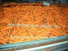 fresh preserved carrots ( export to dubai)