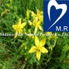 Top Quality St Johns Wort Extract 0.3%