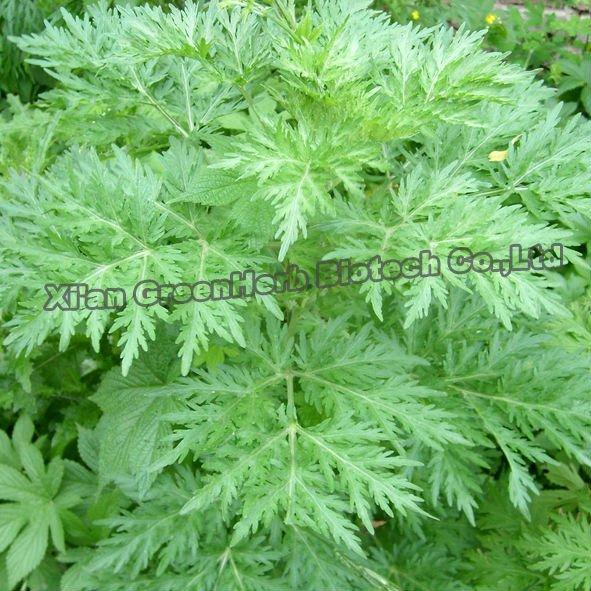 Herb Supplement 100% Natural artemisinin plant extract