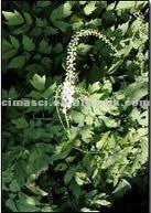 Cimicifuga romose Extract (Triterpene Glycosides 2.5%-20%)