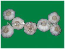 fresh China normal white garlic producer