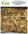 diversas variedades de jengibre