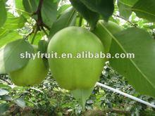 2012 china fresh green juciy pear