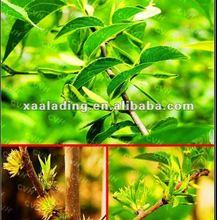100% Natural Eucommia Ulmoides Extract Chlorogenic acid