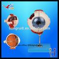 La norma iso avanzado modelo de globo ocular, ojo humano