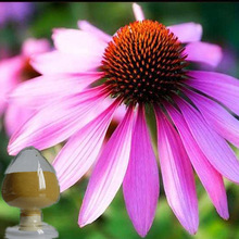 Best Price 100% pure natural polyphenols 4% echinacea extract