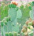 100% الطبيعية هوديا صبار p. e.