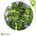 produtos quentes para nova 2014 folhas de alecrim extrato de ácido ursólico pó