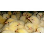 chicken feed premix (liquid)