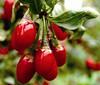 HOT SELL Ningxia red medlar fresh wolfberry dried goji berry