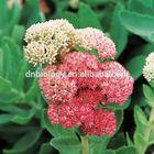 Rhodiola rosea extract/3% Rosavins
