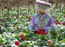 Factory Supply Traditional Chinese Medicine Radix Notoginseng P.E natural plant powder